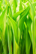 green tulip leaves