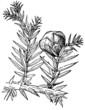 Branch of Plant Juhiperus chinensis (Chinese Juniper)