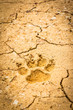 dog footprint on dry crack soil