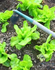 culture de plants de salade