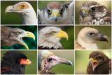 eagles, raptors and vultures poster