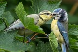 Juvenile bluetit being fed by a parent