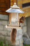 Eurasian red squirrel / Sciurus vulgaris plundering bird feeder