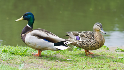 Two ducks near a pond