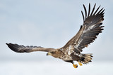 White-tailed Sea Eagle flying above the pack ice. - 53626643
