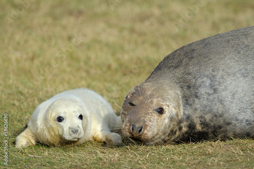 Grey Seal pup laying in the grass with mother.