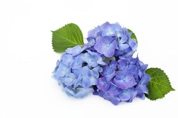 ブルーのアジサイ