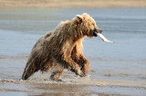 Grizzly Bear fishing in coastal waters