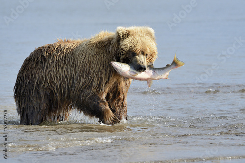 Grizzly Bear with salmon in mouth