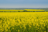 rape field  in spring