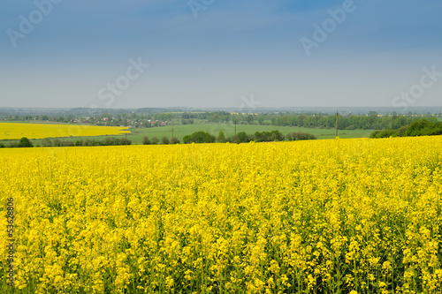 rape field in full bloom in spring