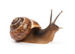 Garden snail on white background - 53629277