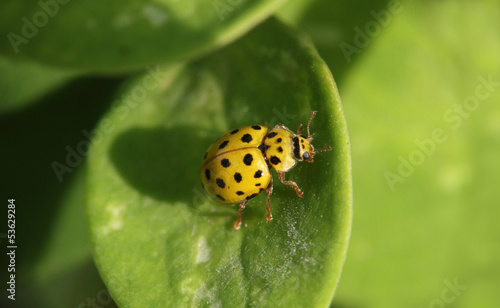 Yellow beetle with black dots on the green leaf macro photo