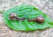Two garden snails