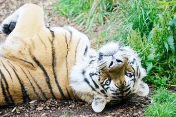 Tiger playful
