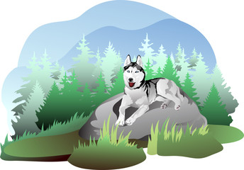 vector drawing of the dog breed Siberian Husky in nature