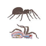 zoology, anatomy, morphology, cross-section of spider poster