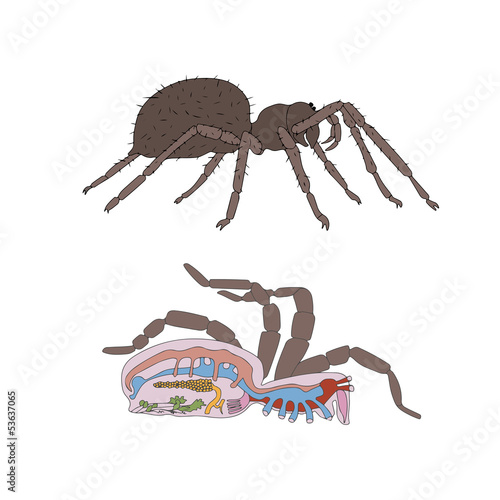 zoology, anatomy, morphology, cross-section of spider