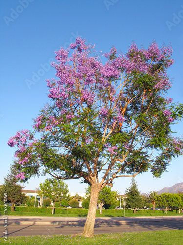 Purple-blue Jacaranda Spring Crown, California