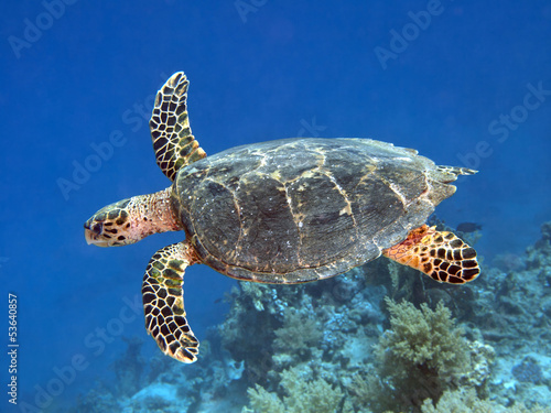 Foto op Plexiglas Schildpad Hawksbill turtle