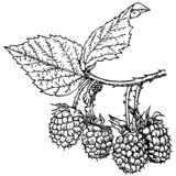 Branch of Plant Rubus crataegifolius (Korean Raspberry)