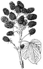 Branch of Plant European Dewberry