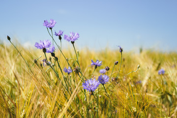 blue cornflowers in the wheat field