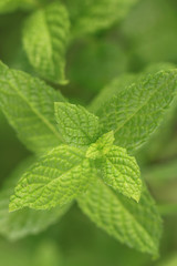 Close up of fresh mint leaves