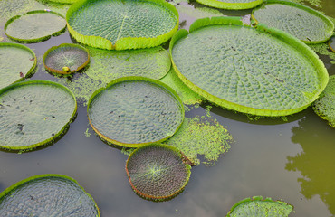 Huge floating lotus,Giant Amazon water lily,Victoria amazonia