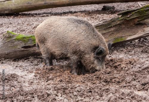 Wühlendes Wildschwein