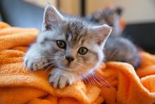 Mały szary kot leżący na pomarańczowym kocem na kanapie