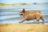 Happy dog bulldog running at the beach see