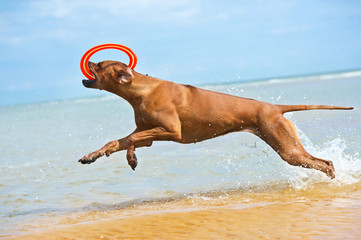 Happy dog rhodesian ridgeback running with frisbee at the beach