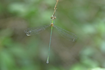 Dragonfly against green blured background
