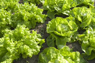 Lettuces in the vegetable garden.