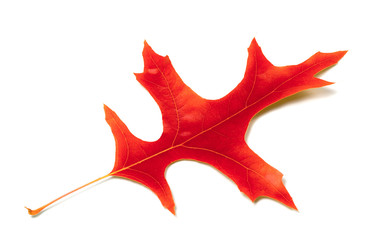 Red leaf of oak