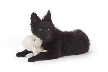 jeune chien mudi avec mouton en peluche