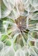 Gigantic dandelion flowers parachutes