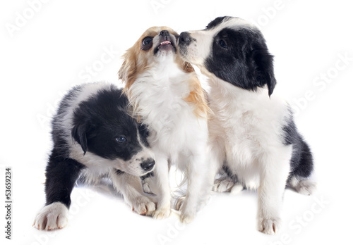 puppies border collies and chihuahua