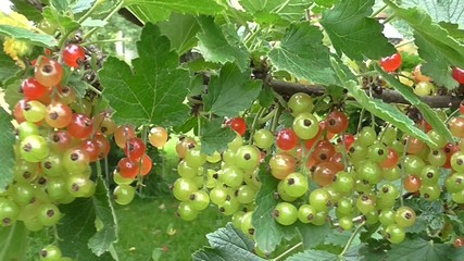 Owoce porzeczki czerwonej