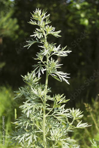 Wormwood in a forest glade