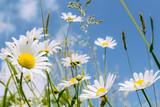 Fototapety daisy flower field