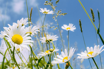 daisy flower field