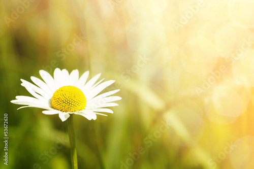 Foto op Canvas Madeliefjes daisy flower field with shallow focus