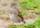 Female house sparrow (Passer domesticus)