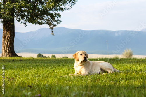 Young dog of golden retriever
