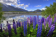 Lupines on the shore of the river in New Zealand - 53688015