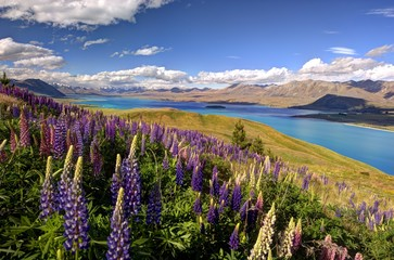 Lupines on the ridge of Mt John, Tekapo