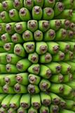 Banana,Musa chiliocarpa Back,100 hand Banana Plant poster