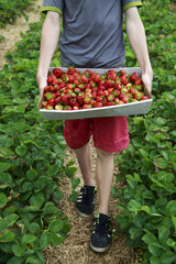 Boy with tray full of fresh picked strawberries